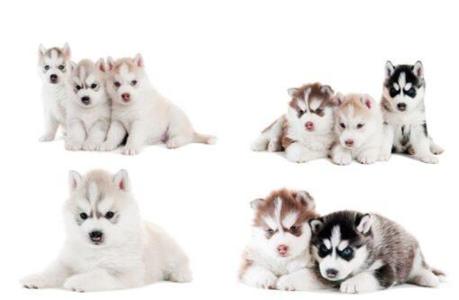 Fotomural Cachorros Husky